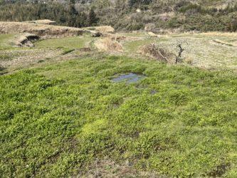 大分山香のセリ畑